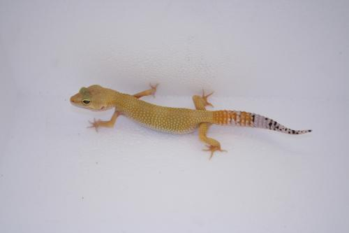 IDF24 Super Hypo Tangerine Carrot Tail � 45