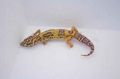 IDF54 Jungle Bell Albino 66% poss het Radar � 80