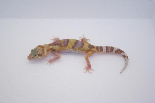 IDF4 Mack Snow Tremper Albino Eclipse Sold ( W - Reptiles )
