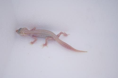 IDF34 Super Snow Tremper Albino � 110